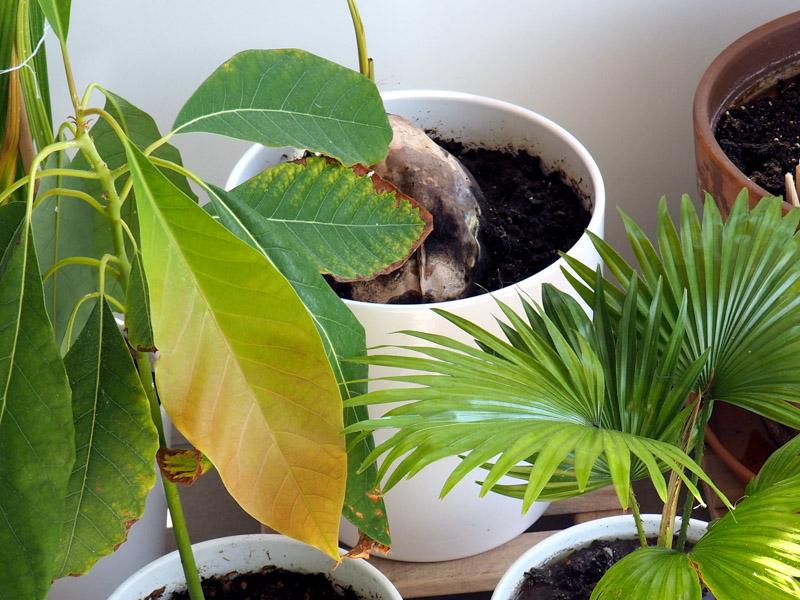 Aufzuchterfolge mit Tropenpflanzen
