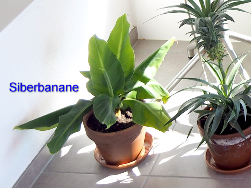 Silberbanane